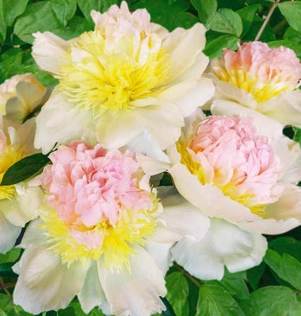 Honey Gold Peony, Spectacular Flowering Blooming Sized Root/Bulb/Plant