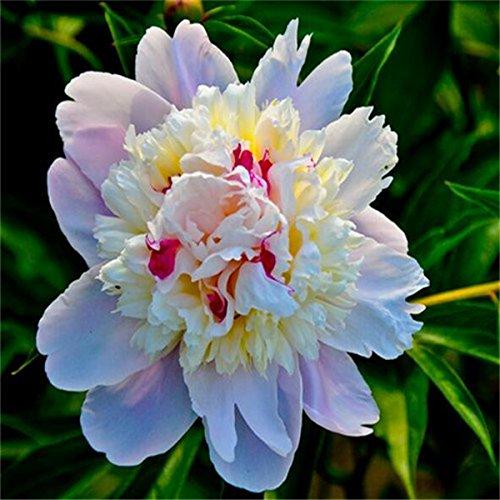 5 pièces / sac graines de pivoine, jaune, graines de fleurs de pivoine rose chinoise belles graines de bonsaï plantes en pot pour le jardin de la maison C