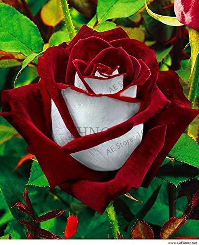 Bloom Green Co. 2018 Neue 100 PC/bag seltene Rosenpflanze Black Rose Blume mit rotem Rand Bonsai Blume flores Für Hausgartenblumen plantas pla: 13