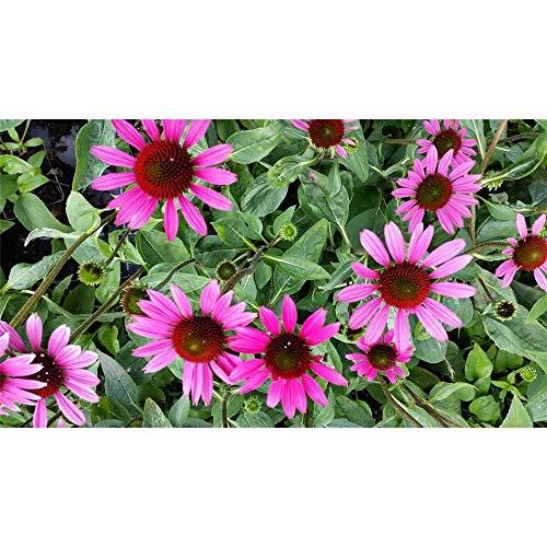 Echinacea purpurea 'Little Magnus' -R- - Sonnenhut 'Little Magnus'® - 11cm Topf