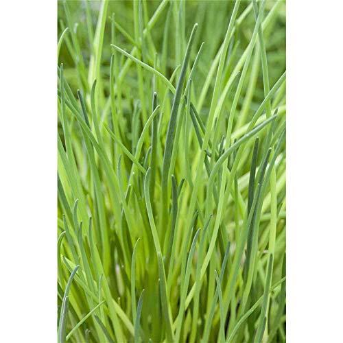 Schnittlauch - Allium schoenoprasum, Kräuter-Pflanze im Topf - 12 cm
