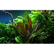 Tropica Aquarium Pflanze Echinodorus Reni rot