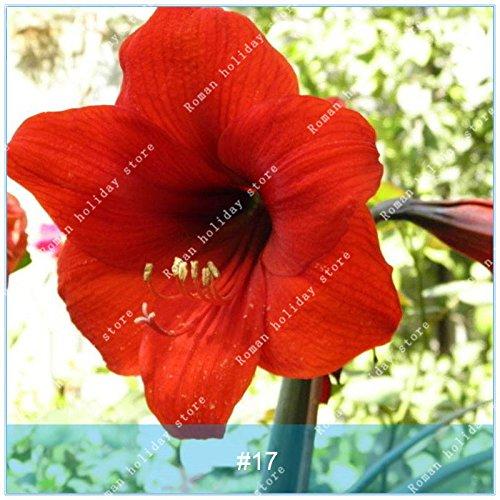 ZLKING 1 PC / Big Echte Amaryllis Zwiebeln Innen- und Außentopf Blumen Pflanzen Blumenzwiebeln Bonsai-Überlebensrate hoch Pack 17