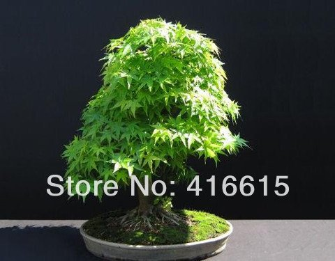 30 Pcs vert japonais Cascade Maple Bonsai Graines - Acer palmatum - Exotique Bonsai Tree - Maple vert japonais