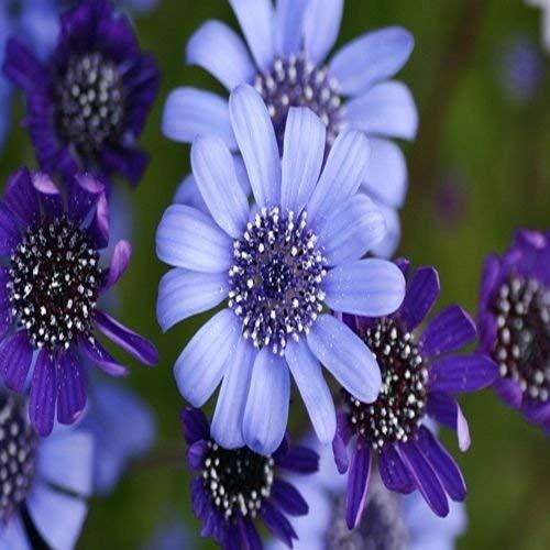 Semillas de flor de la margarita azul Felicia azules (Felicia heterophylla) + 50 Semillas