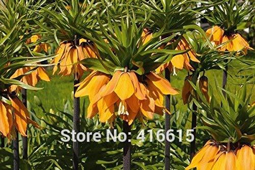 100 semillas Corona Imperial Fritillaria Imperialis Premier Semillas fácil de cultivar Semilla de plantas cubierta de tierra del hogar Jardín + Regalo Misterioso