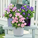 B/H mélange Fleurs graines,Plantes ornementales,Plantes ornementales,Graines de campanule, Novices faciles à Planter et à Vivre 50 pcs-Violet,mélange Fleurs graines