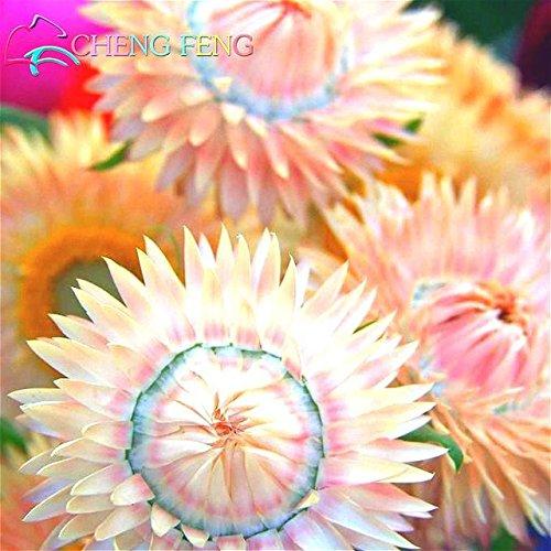 Green Seeds Co. 50 Stück Regenbogen Chrysantheme Blume Pflanzen seltene Farbe Immortelle DIY Hausgarten Blume Pflanze einfach wachsen beste Geschenk für Mutter: rot