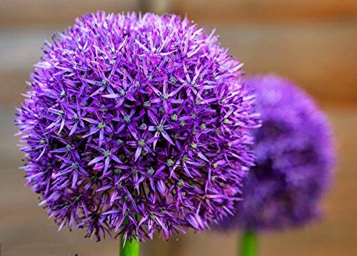 Persian Onion