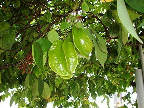 Sternfrucht Averrhoa carambola Pflanze 5-10cm Karambole Karambola Carambola