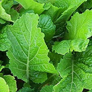 Florida Broadleaf Mustard Seeds, India, Non-GMO, Garden Growing - Spring Summer Garden Farm Vegetable Seeds Variety Size by Naturegreen Park 7500 Seeds or 1/2 OZ