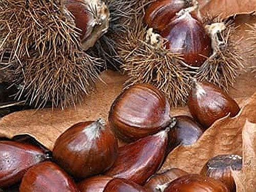 10 Chestnut Tree Seeds