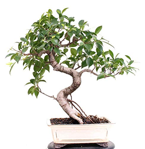 Bonsai - Ficus microcarpa (retusa),...