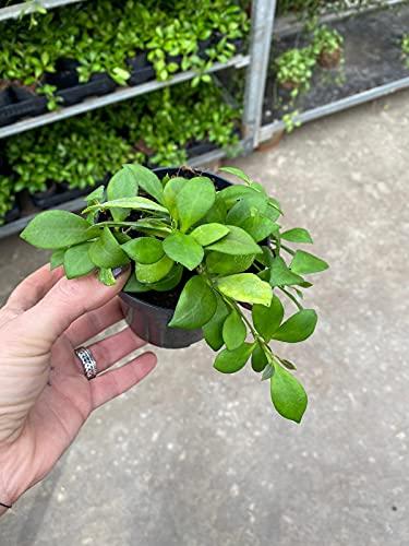 HOYA HEUSKHELIANA, vaso 11cm, pianta vera