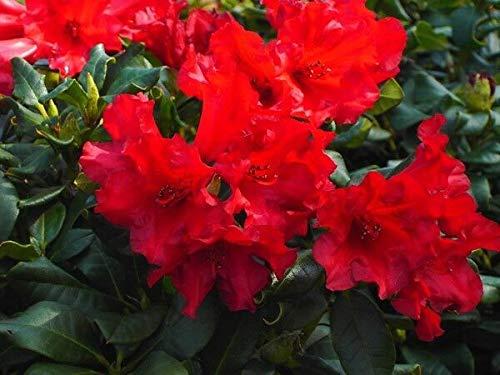 Samen-Paket: Rhododendron Baden Baden In 9cm Seed