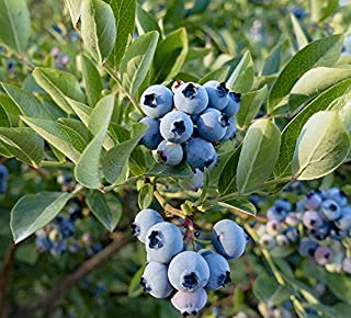 (2 Gallon) POWDERBLUE Rabbiteye Blueberry- the berries are pink before transitioning to their ripe blue color. Berries are very light blue in color, medium in size with good firmness and sweet flavor.