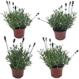 4 Lavendel-Pflanzen: Lavendel-Pflanze im Topf   Gärtnerqualität   Lavendel-Topf winterhart mehrjährig   Staude für Balkon und Garten   Gartenpflanze winterhart   Balkonpflanze mehrjährig