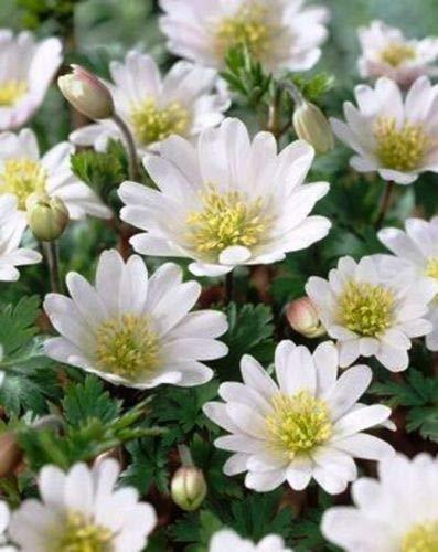 Anemone Blanda, weiße Blumenzwiebeln,...