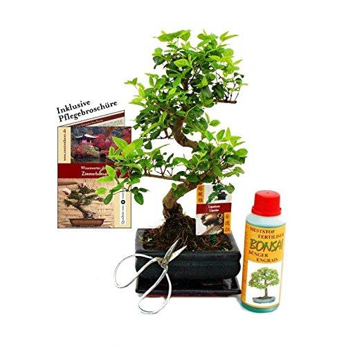 Gift Set Bonsai - Ligustrum - Chinese privet - 6 Years - Beg