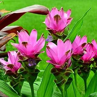 1 Plants Pink Curcuma Bulbs Siam Tulip Tropical Fresh and Viable from Garden