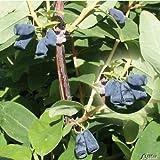 Lonicera - Sibirische Blaubeere 'Blue Velvet' Honigbeere Kamtschatka-Heckenkirsche 1 Pflanze im Topfballen von Garten Schlüter - Pflanzen in Top Qualität