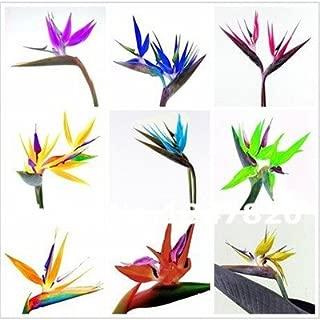 GGG 100pcs. All sorts of color Strelitzia reginae seeds hybrid bird paradise seed Bonsai plants Seeds for home & garden