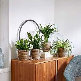 Mix 4 plantes purificatrices d'air avec cache-pots | Asplenium nidus, Chlorophythum comosum, Dypsis lutescens…