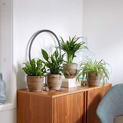 4er Set | Luftreinigende Pflanzen Set | Zimmerpflanzen mit Übertopf | Rattan Ziertopf | Höhe 25-50 cm | Topf-Ø 12 cm
