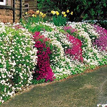 Qulista Samenhaus - Rarität Phlox-Mix 'Flowers of the Sea' mit unzähligen Blüten in Pink, Weiß, Violett und Rosa, Bodendecker-Mix immergrün, Blumensamen winterhart mehrjährig