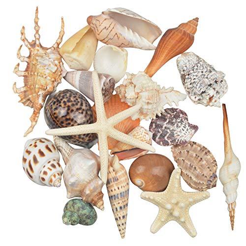 Jangostor 21 PCS Conchas de mar medianas Conchas de mar de playa mixtas, varios tamaños Conchas de mar de colores naturales Estrellas de mar Perfecto para la fiesta temática de playa Decoraciones