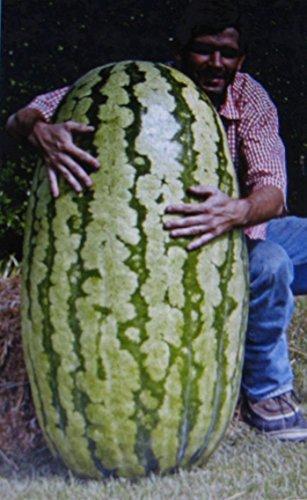 SANHOC Samen-Paket: Wettbewerb Watermelon * Cross Hybred ** Antioxidant * Lycopin * 5 Samen
