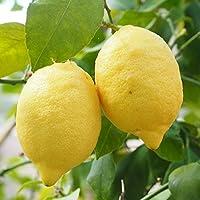 寒さに強いレモン 苗木 【リスボンレモン】 2年生 接ぎ木大苗