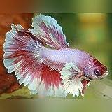 Dumbo Halfmoon Betta - Live Aquarium Tropical Fish