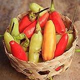 50 piezas mezcla de semillas de pimiento perenne Mini chile puro condimento natural semillas de hortalizas para la plantación de jardines domésticos de bajo mantenimiento