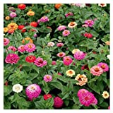 Cut and Come Again Mixed Zinnia Seeds - Approximately 300 Seeds