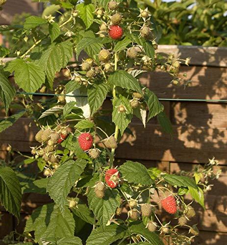 Himbeere Himbo Top - Rubus idaeus