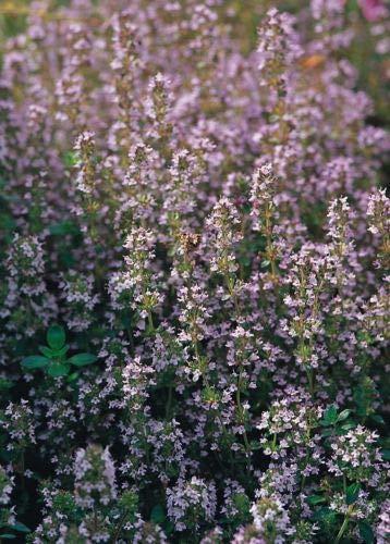 Herb - Suffolk Herbs - Wild Thyme Seed - Thymus serpyllum - Pictorial Pack