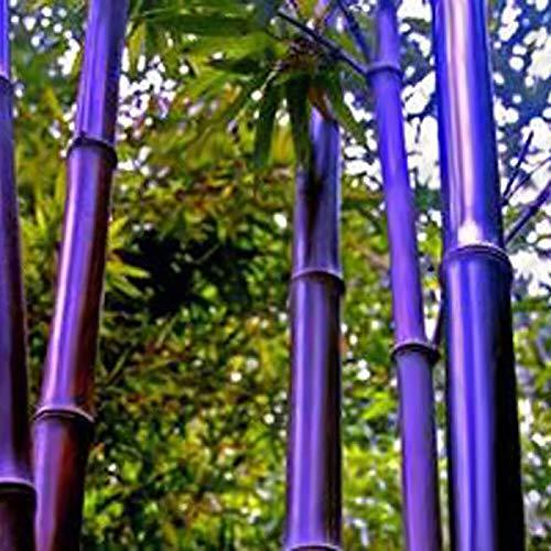 yanbirdfx Blumen Samen für Garten und Balkon-100 Stück Schwarz Lila Grün Phyllostachys Pubescens Moso-Bambus-Samen Gartenpflanzen - 100 Stück Lila Bambus-Samen