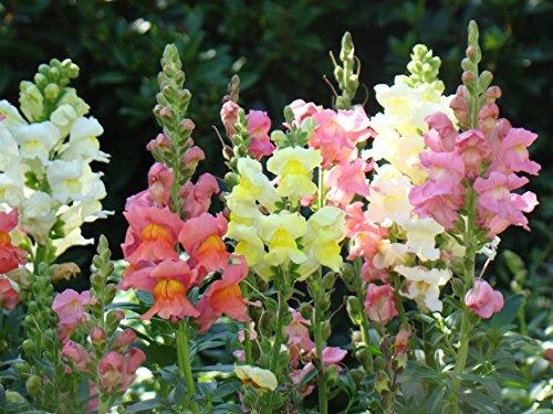 250 graines Fleurs - MUFLIER grand varié gueule de loup - Antirrhinum majus