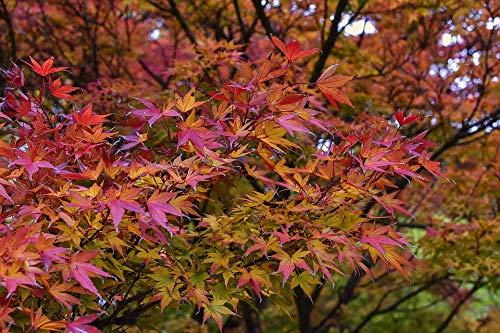 Fächer-Ahorn Ac. palmatum Pflanze...