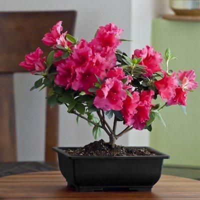 Vibrant Azalea Bonsai – Live Plant - Green Gift - Live Flowers - Fresh Flowers - Cut Flower Alternative - Ships Fast - 2nd Day Express
