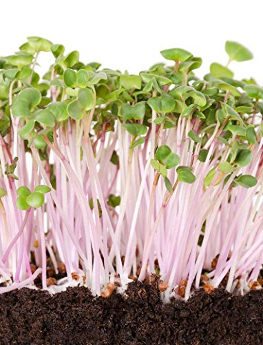 UEYR Bulk China Rose Radish Seed - ideal für microgreens