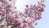 Go Garden Raras semillas de plantas de árbol de flor de magnolia de río amarillo chino, 10 semillas/paquete, luz fragante árbol de jardín plántulas de bonsai