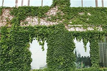 VISTARIC 4: Mix Boston Seeds 100% vrai Parthenocissus tricuspidata semences Plantes d'extérieur QUASIMENT soins décoratifs Escalade usine 100 Pcs 4