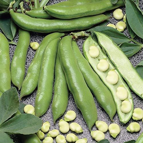 Aquadulce Fava Bean Seeds, 25 Premium Heirloom Seeds Per Packet, Non GMO Seeds