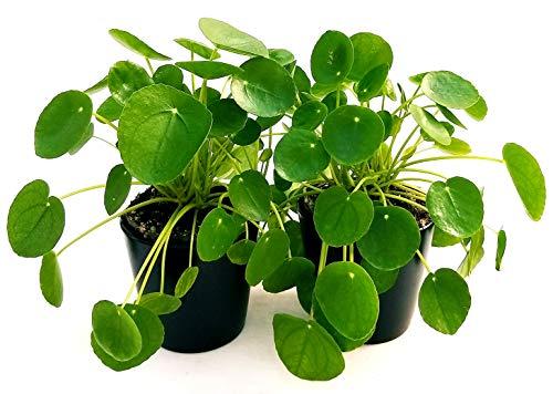 PILEA PEPEROMIOIDES 2 PIANTE vaso 14cm, piante vere