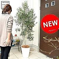 LAND PLANTS 観葉植物 オリーブ 10号 白色 セラーアート鉢 大型 尺 ココヤシファイバー