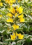Wasserpflanzen Wolff - Lysimachia punctata 'Alexander' - panaschierter Goldfelberich - Tüpfelstern