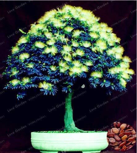 Generic Fresh 20pcs Albizia Blumensamen zum Pflanzen von Grün