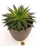 Planta auténtica de aloe vera en maceta de cerámica color antracita.